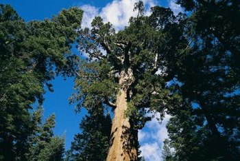 Redwood seeds produce giant trees.