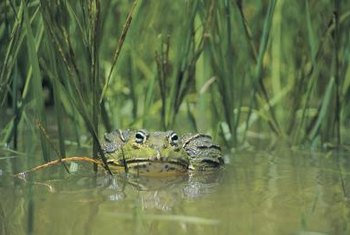Frogs and toads use garden ponds as breeding grounds as well as hunting grounds.
