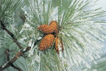 Pines use male and female cones for reproduction instead of flowers.