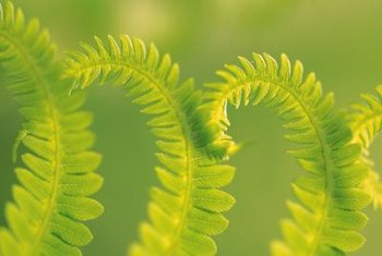 Commercial production of Boston ferns began in 1914 in Florida.