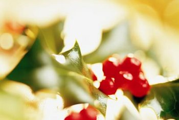 Chinese holly plants produce bright red berries.