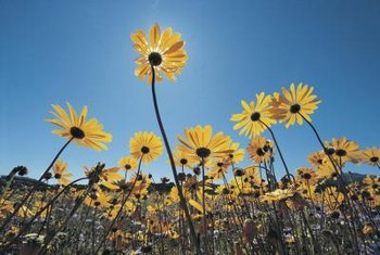 The scientific names for the daisy family are Asteraceae and Compositae.