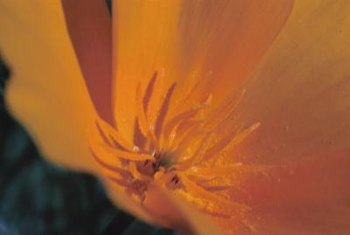 California poppies bloom with showy, golden-orange flowers.