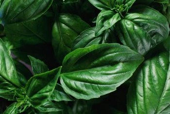 Typical sweet basil leaves, very different from the boxwood variety.