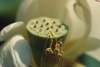 Lotus seeds develop within the holes of the flower's central receptacle.