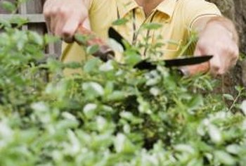Get a jump on problems by carefully checking shrubs during pruning.