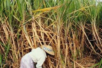 Sugarcane is a giant type of grass.