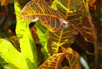 Variegated plants come in a range of colors.