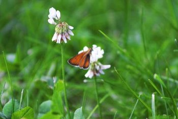 Attract bees, butterflies and perhaps a lucky leprechaun with white Dutch clover.