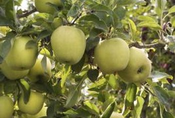 Granny Smith apple trees bear flavorful green fruit.