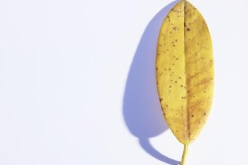 Insect damage could cause your ficus' leaves to yellow and drop.
