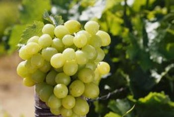 """Thompson Seedless"" is an early-ripening table and raisin grape."