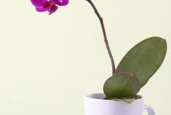 Phalaenopsis flowers open in sequence on a spike.