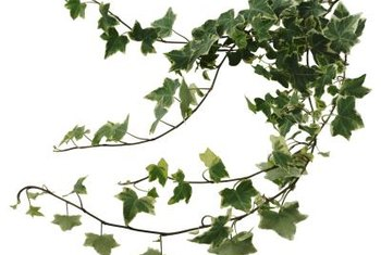 Variegated ivy leaves may wilt more noticeably than others.