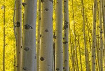 Paper birches can attain 40 feet in the wild.