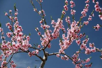 Peach trees have abundant blossoms in early spring.