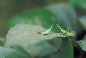 Don't let grasshoppers eat away at your plants' foliage.