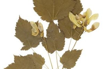 Maple seeds flutter away from the tree on propeller-shaped wings.