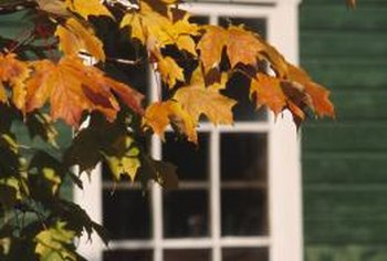 Maple trees add beautiful fall color to a front yard.