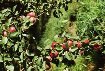 Collar rot can destroy the most vigorous apple trees.