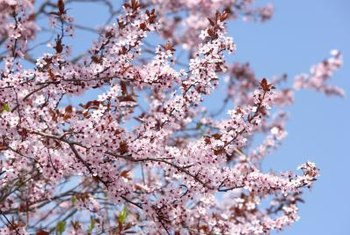The Japanese cherry is an ornamental tree but short-lived..