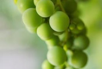 Deep green grapes are not yet ripe.