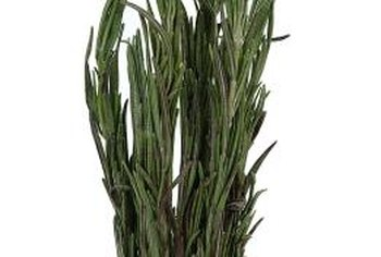 Small amounts of rosemary are sometimes added to dog treats.