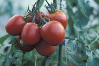 Determinate tomato plants stop growing when they develop terminal blossoms.