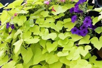 Sweet potato vine makes a dramatic spiller plant.