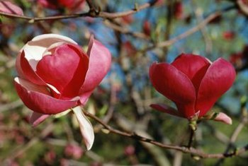 Magnolia blooms usually have white centers.
