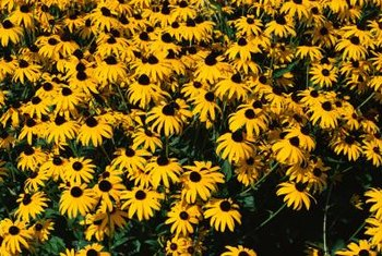 Black-eyed Susans help improve clay soils.