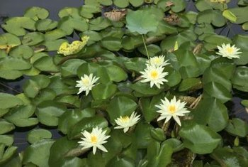 Waterlilies grow from pots deep in the pond.