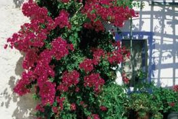Bougainvillea will grow where you tell it to -- and then some.