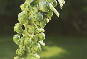 Companion plants can help improve the flavor of Brussels sprouts.