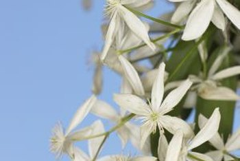 Clematis flowers and vines can climb up tall supports.