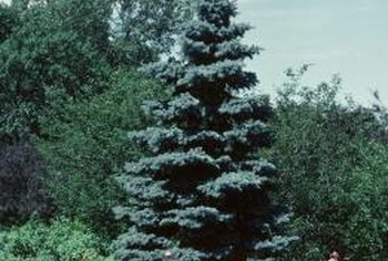 Spruces may grow through several shades of green in a season.