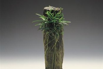 You can grow orchids with adventitious roots on tree stumps.