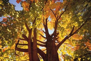 Raise maple crowns to provide dappled shade.