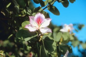 Southern magnolias grow up to 80 feet tall.