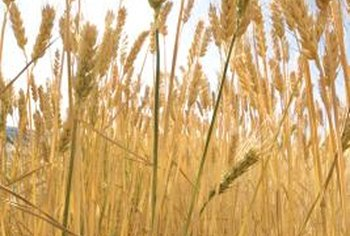 Wheat stems may reach heights of 5 feet.