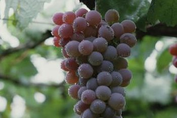 Choose from among 60 species and 8,000 varieties of grapes.