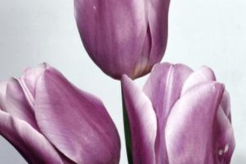 Manage a tulip's need for water based on where it's planted.