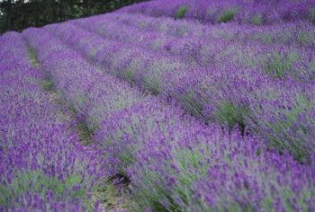 Lavender requires little summer care besides watering.