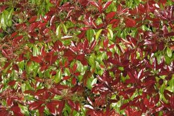 Red tip photinia's immature leaves stand out against the mature green foliage.