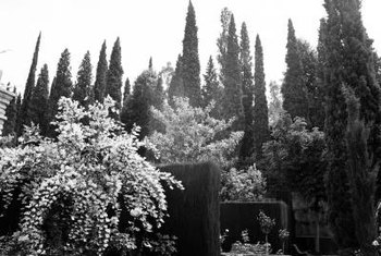 Italian cypresses thrive in well-drained soil.