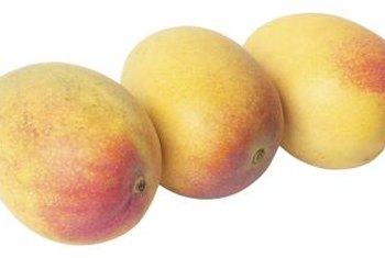 A mango tree requires warm, dry weather to set fruit.