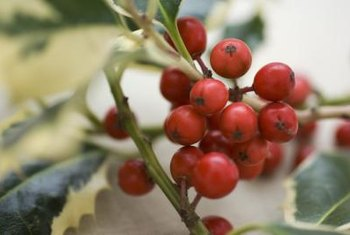 Holly plants with red berries are strongly associated with Christmas.