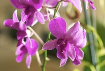Orchid nodes are sometimes white or gray in color, but the flowers can have vibrant hues.