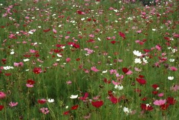 Poppies produce papery, cup-shaped flowers in the spring and summer.