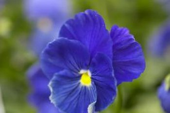 Blue pansies help create blue roses.